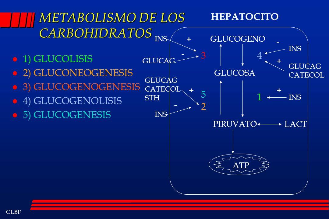 CLBF METABOLISMO DE LOS CARBOHIDRATOS l 1) GLUCOLISIS l 2) GLUCONEOGENESIS l 3) GLUCOGENOGENESIS l 4) GLUCOGENOLISIS l 5) GLUCOGENESIS ATP GLUCOGENO G