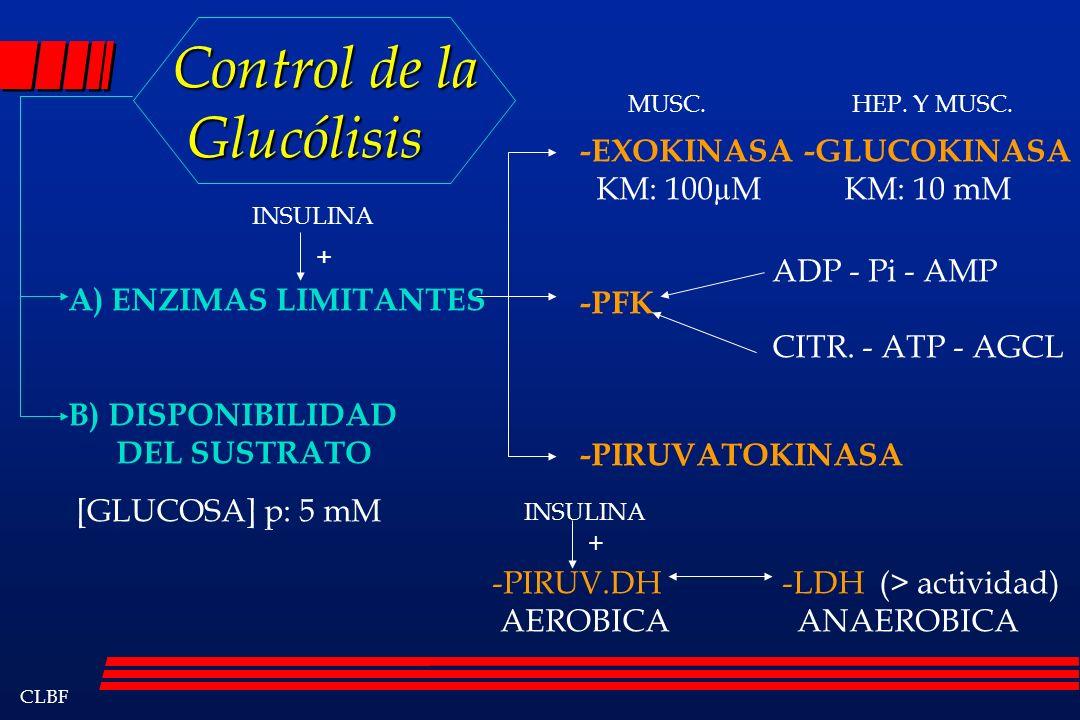 CLBF Control de la Glucólisis Control de la Glucólisis A) ENZIMAS LIMITANTES B) DISPONIBILIDAD DEL SUSTRATO -EXOKINASA KM: 100µM -GLUCOKINASA KM: 10 m