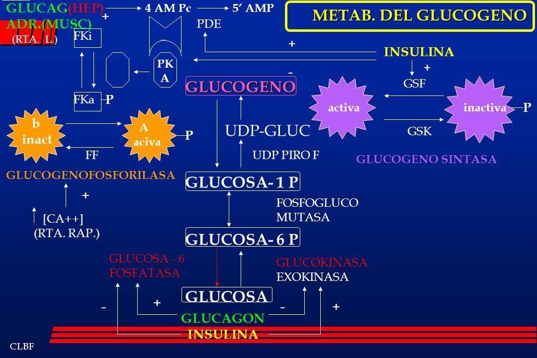 CLBF GLUCOGENO GLUCOSA- 1 P GLUCOSA- 6 P GLUCOSA UDP-GLUC GLUCOSA - 6 FOSFATASA GLUCOKINASA EXOKINASA FOSFOGLUCO MUTASA GLUCOGENOFOSFORILASA b inact A