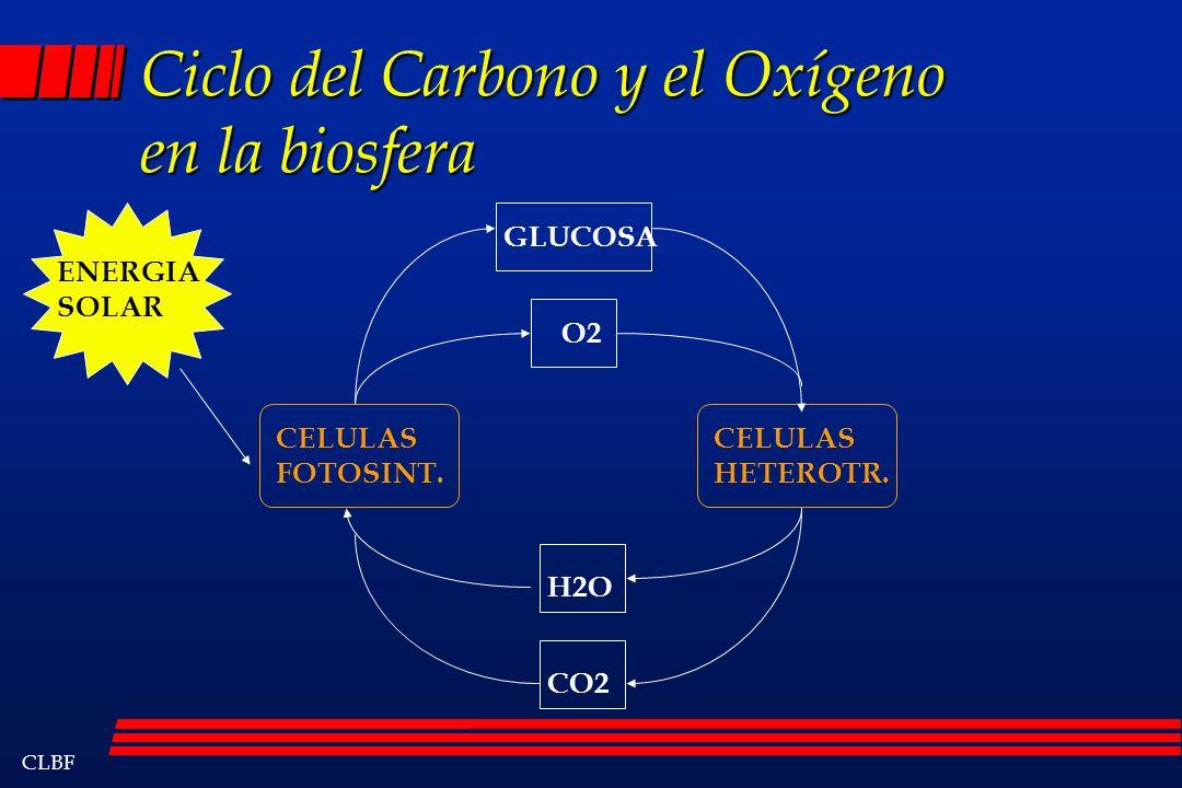 CLBF Ciclo del Carbono y el Oxígeno en la biosfera CELULAS FOTOSINT. CELULAS HETEROTR. GLUCOSA O2 H2O CO2 ENERGIA SOLAR
