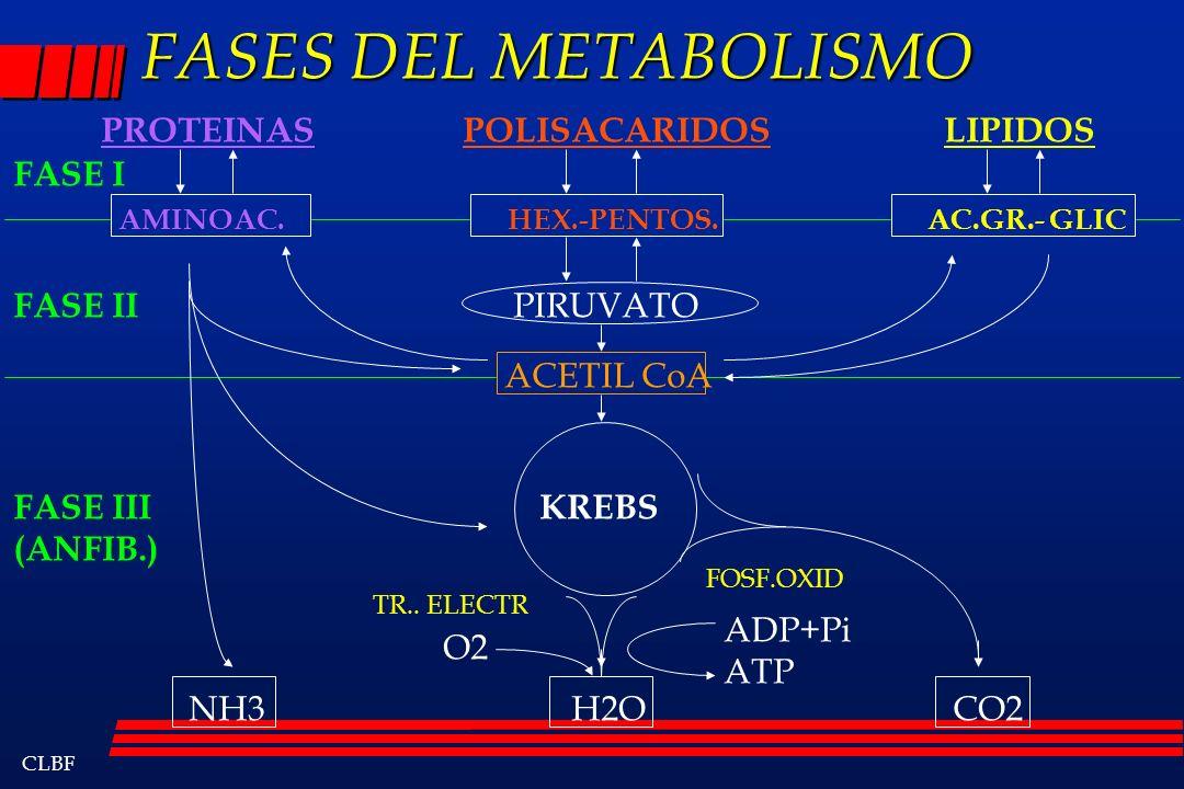 CLBF FASES DEL METABOLISMO PROTEINAS POLISACARIDOS LIPIDOS AMINOAC. HEX.-PENTOS. AC.GR.- GLIC PIRUVATO ACETIL CoA KREBS NH3 H2O CO2 FASE I FASE II FAS