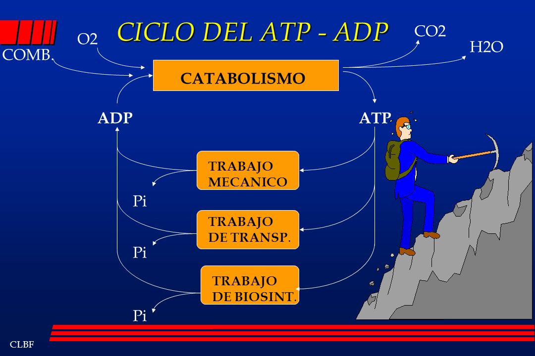 CLBF CICLO DEL ATP - ADP CICLO DEL ATP - ADP CATABOLISMO ATPADP O2 COMB. CO2 H2O TRABAJO MECANICO TRABAJO DE TRANSP. TRABAJO DE BIOSINT. Pi
