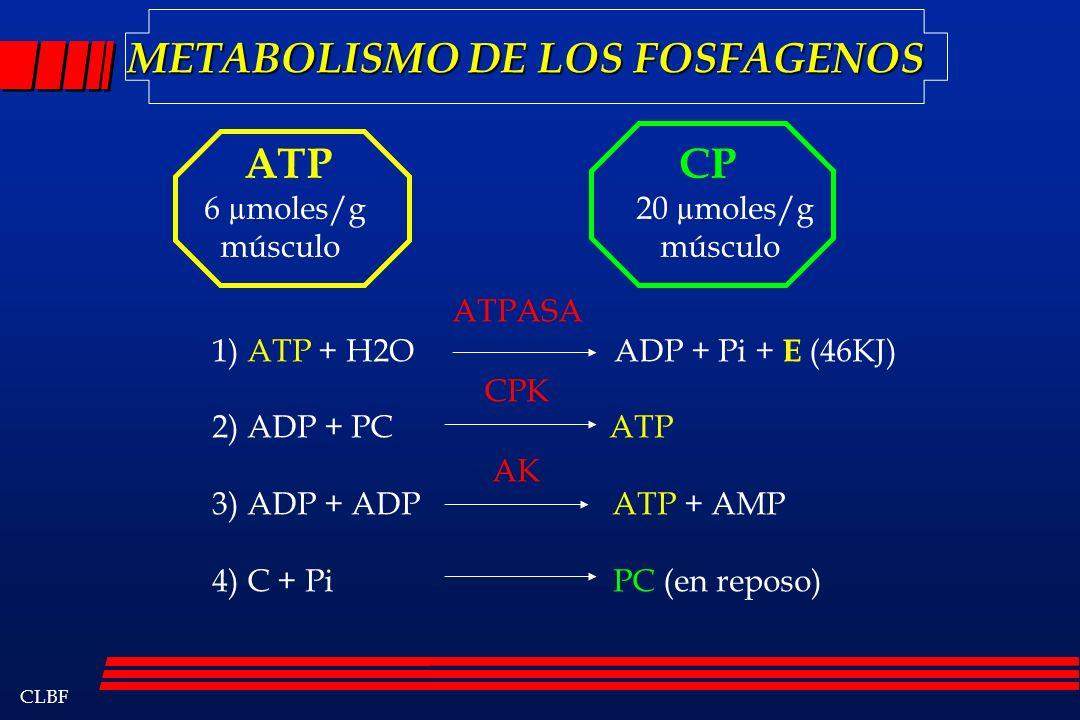 CLBF METABOLISMO DE LOS FOSFAGENOS ATP 6 µmoles/g músculo CP 20 µmoles/g músculo 1) ATP + H2O ADP + Pi + E (46KJ) 2) ADP + PC ATP 3) ADP + ADP ATP + A