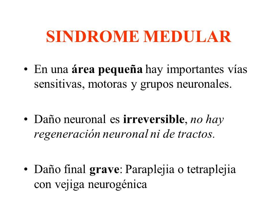 SINDROME MEDULAR En una área pequeña hay importantes vías sensitivas, motoras y grupos neuronales. Daño neuronal es irreversible, no hay regeneración