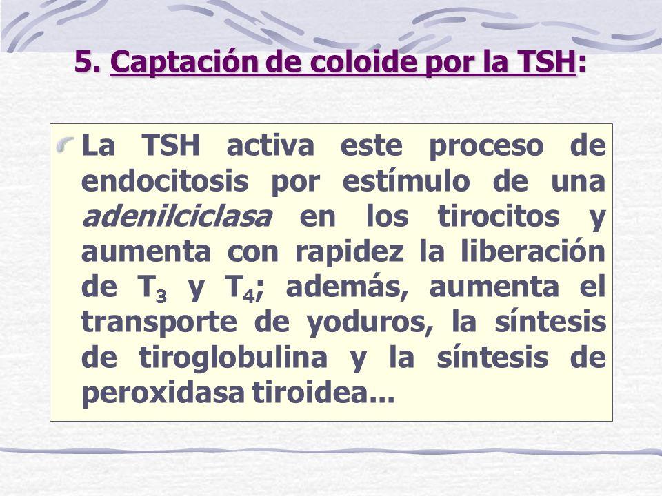 5. Captación de coloide por la TSH: La TSH activa este proceso de endocitosis por estímulo de una adenilciclasa en los tirocitos y aumenta con rapidez