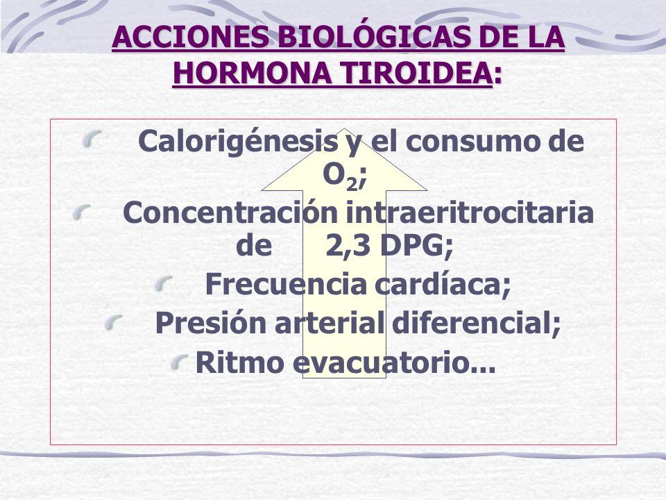 ACCIONES BIOLÓGICAS DE LA HORMONA TIROIDEA: Calorigénesis y el consumo de O 2 ; Concentración intraeritrocitaria de 2,3 DPG; Frecuencia cardíaca; Pres