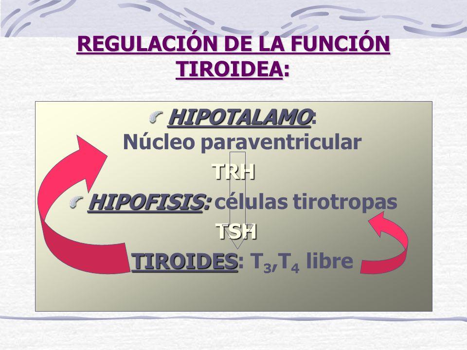 REGULACIÓN DE LA FUNCIÓN TIROIDEA: HIPOTALAMO HIPOTALAMO: Núcleo paraventricularTRH HIPOFISIS: HIPOFISIS: células tirotropas TSH TIROIDES TIROIDES: T