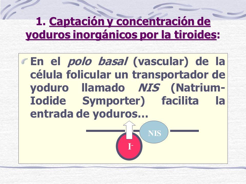 Captación y concentración de yoduros inorgánicos por la tiroides 1. Captación y concentración de yoduros inorgánicos por la tiroides: En el polo basal