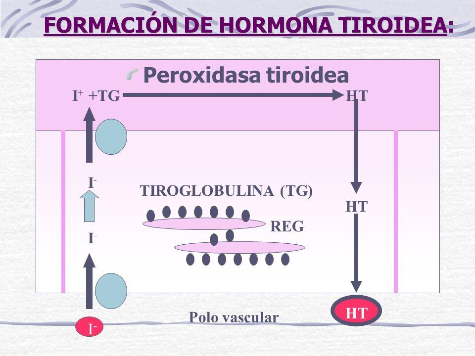 FORMACIÓN DE HORMONA TIROIDEA FORMACIÓN DE HORMONA TIROIDEA: Peroxidasa tiroidea I + +TG HT HT TIROGLOBULINA (TG) REG I-I- I-I- I-I- Polo vascular