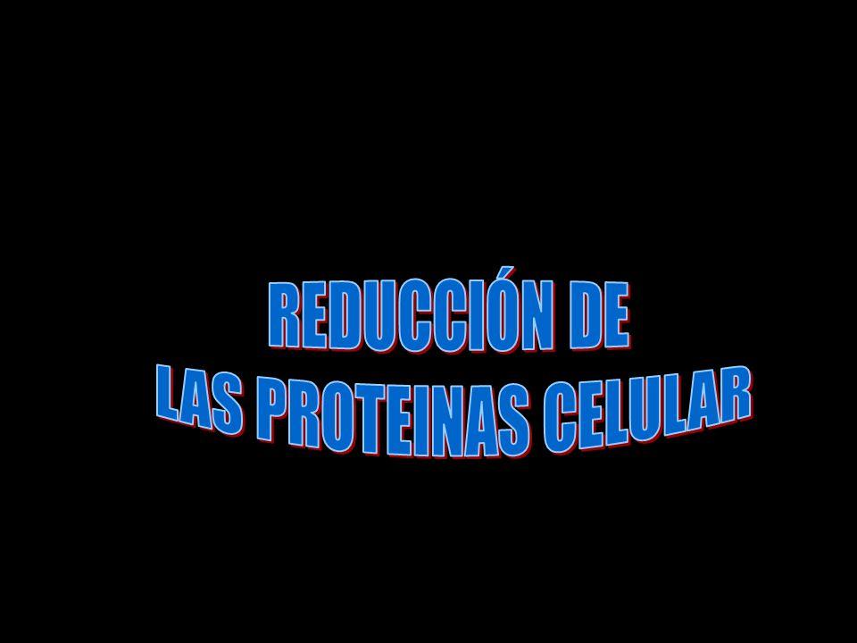Efectos del cortisol sobre el metabolismo de las proteínas