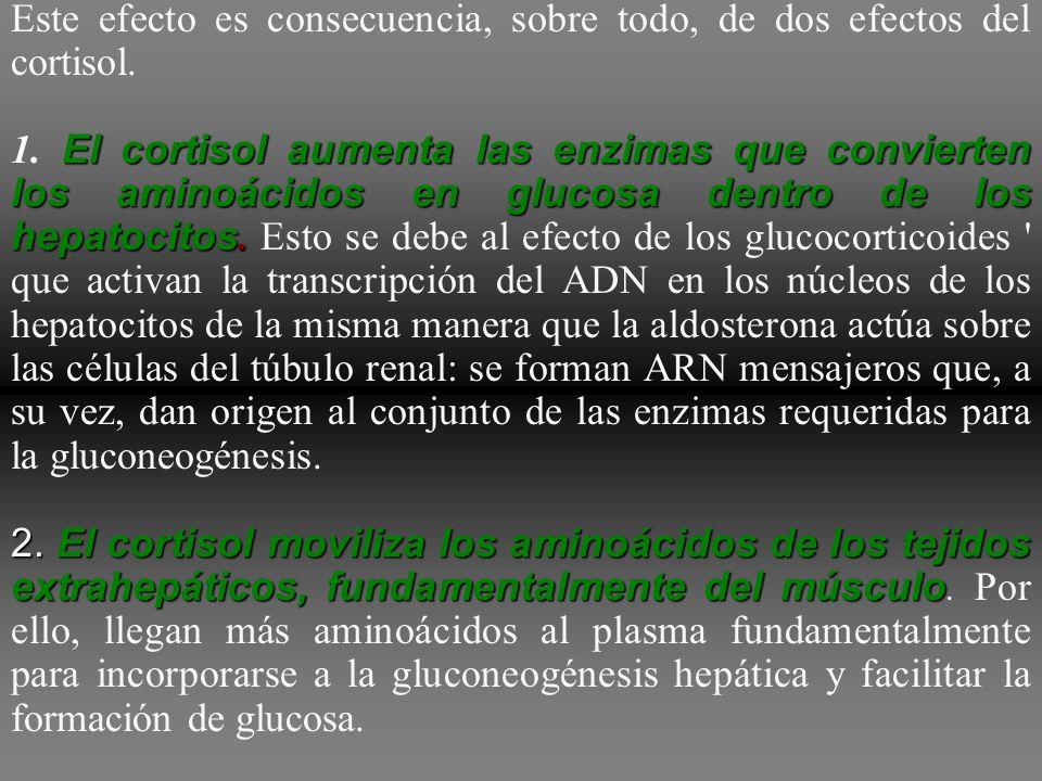 el efecto metabólico más conocido del cortisol y de otros glucocorticoides sobre el metabolismo consiste en estimular la gluconeogénesis (formación de
