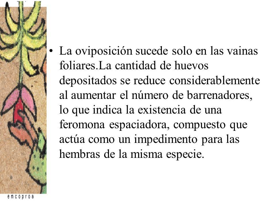 La oviposición sucede solo en las vainas foliares.La cantidad de huevos depositados se reduce considerablemente al aumentar el número de barrenadores,