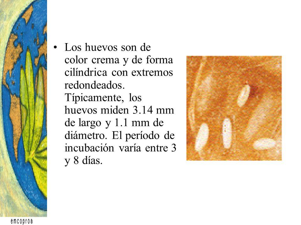 Los huevos son de color crema y de forma cilíndrica con extremos redondeados. Típicamente, los huevos miden 3.14 mm de largo y 1.1 mm de diámetro. El