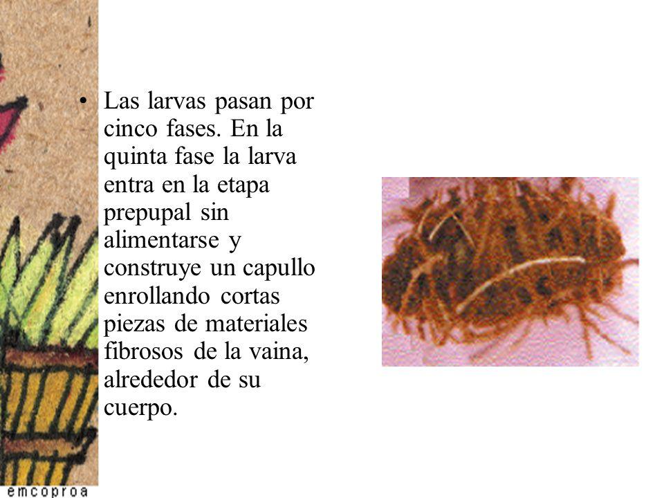 Las larvas pasan por cinco fases. En la quinta fase la larva entra en la etapa prepupal sin alimentarse y construye un capullo enrollando cortas pieza