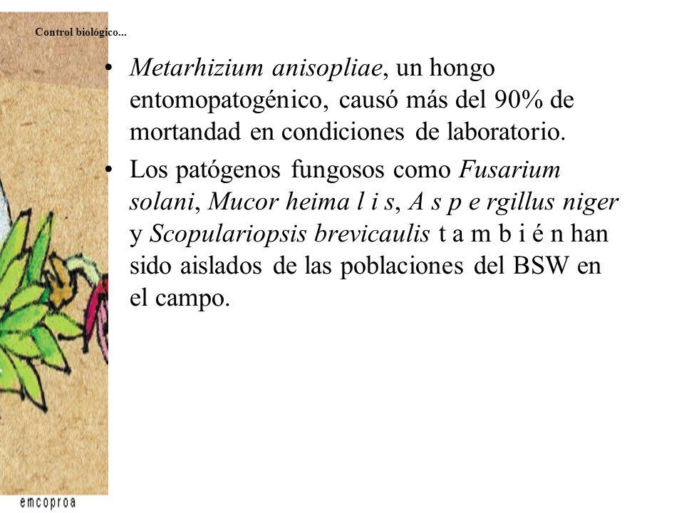 Metarhizium anisopliae, un hongo entomopatogénico, causó más del 90% de mortandad en condiciones de laboratorio. Los patógenos fungosos como Fusarium