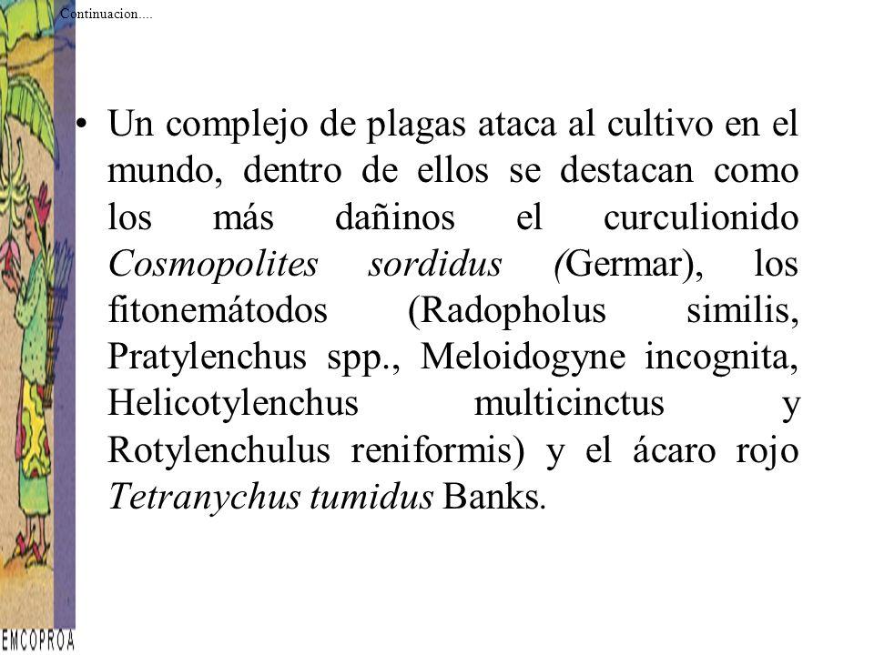 Un complejo de plagas ataca al cultivo en el mundo, dentro de ellos se destacan como los más dañinos el curculionido Cosmopolites sordidus (Germar), l
