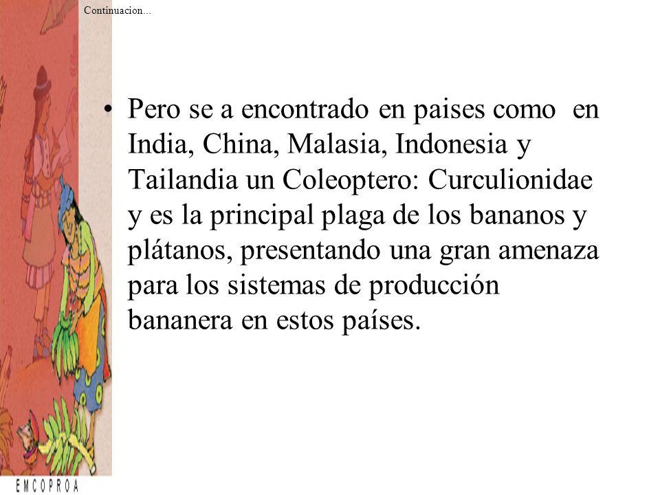 Pero se a encontrado en paises como en India, China, Malasia, Indonesia y Tailandia un Coleoptero: Curculionidae y es la principal plaga de los banano