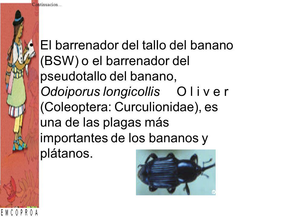 El barrenador del tallo del banano (BSW) o el barrenador del pseudotallo del banano, Odoiporus longicollis O l i v e r (Coleoptera: Curculionidae), es