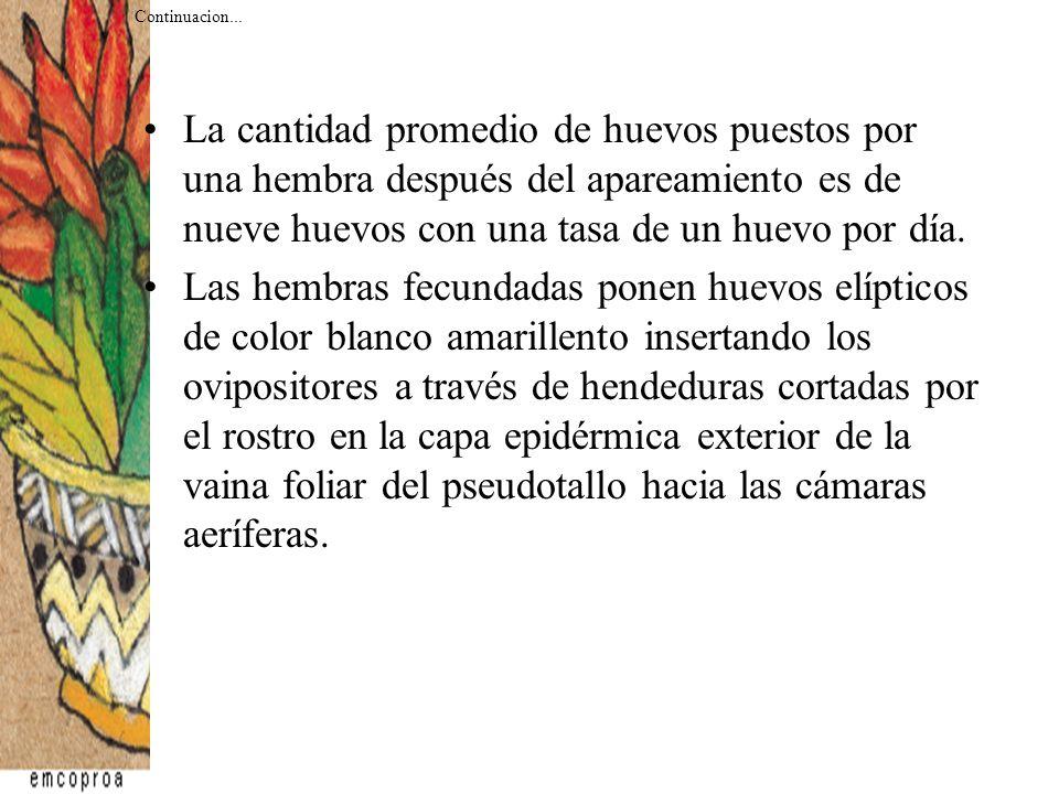 La oviposición sucede solo en las vainas foliares.La cantidad de huevos depositados se reduce considerablemente al aumentar el número de barrenadores, lo que indica la existencia de una feromona espaciadora, compuesto que actúa como un impedimento para las hembras de la misma especie.