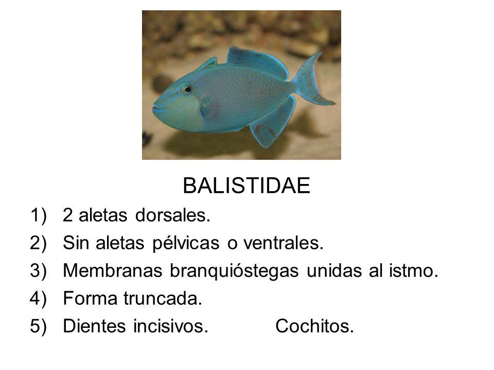 BALISTIDAE 1)2 aletas dorsales. 2)Sin aletas pélvicas o ventrales. 3)Membranas branquióstegas unidas al istmo. 4)Forma truncada. 5)Dientes incisivos.