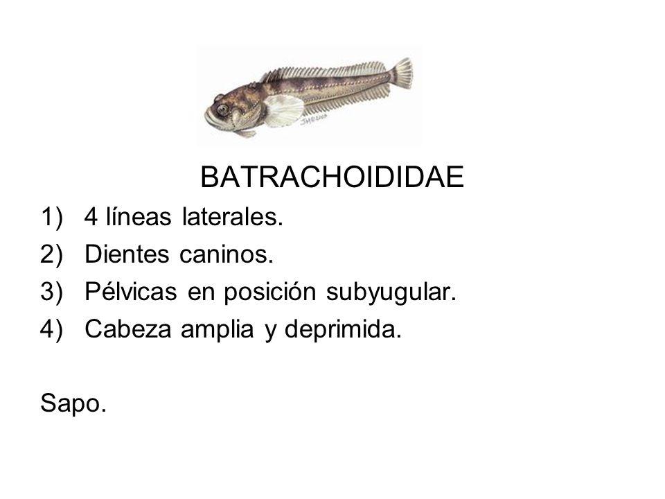 BATRACHOIDIDAE 1)4 líneas laterales. 2)Dientes caninos. 3)Pélvicas en posición subyugular. 4)Cabeza amplia y deprimida. Sapo.