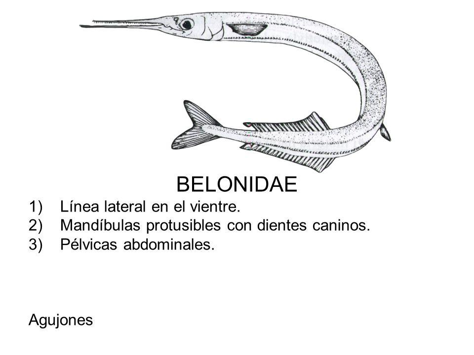 BELONIDAE 1)Línea lateral en el vientre. 2)Mandíbulas protusibles con dientes caninos. 3)Pélvicas abdominales. Agujones