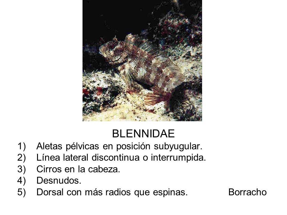 BLENNIDAE 1)Aletas pélvicas en posición subyugular. 2)Línea lateral discontinua o interrumpida. 3)Cirros en la cabeza. 4)Desnudos. 5)Dorsal con más ra