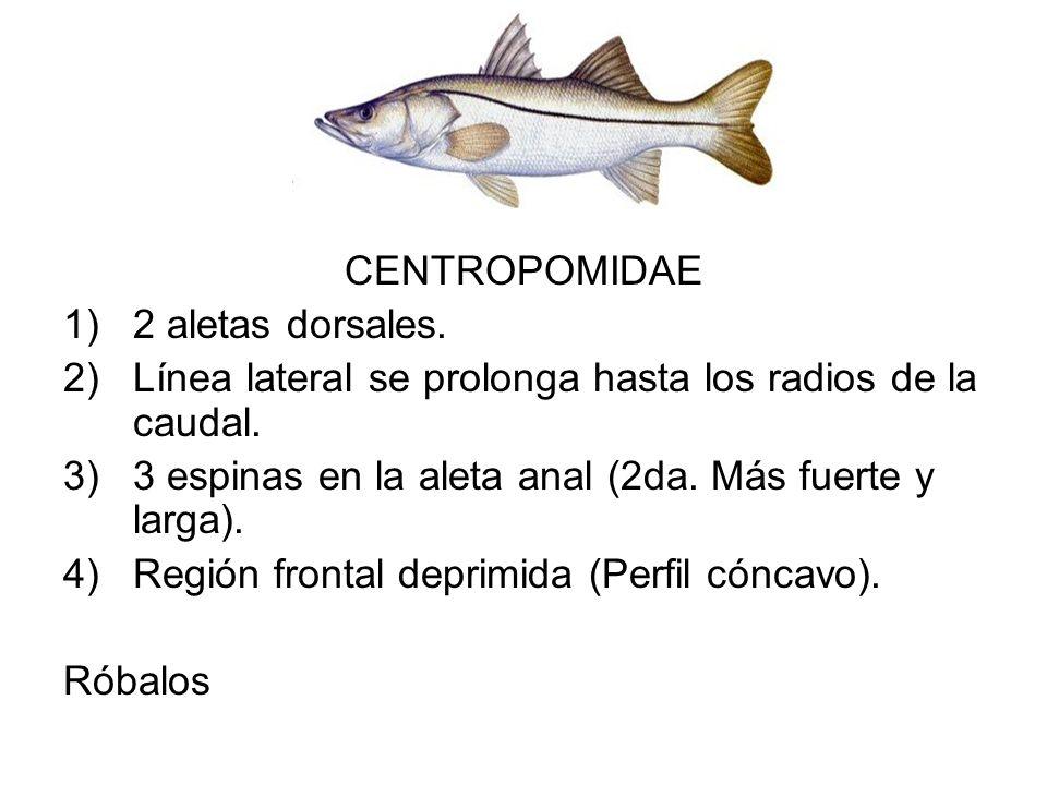 CENTROPOMIDAE 1)2 aletas dorsales. 2)Línea lateral se prolonga hasta los radios de la caudal. 3)3 espinas en la aleta anal (2da. Más fuerte y larga).