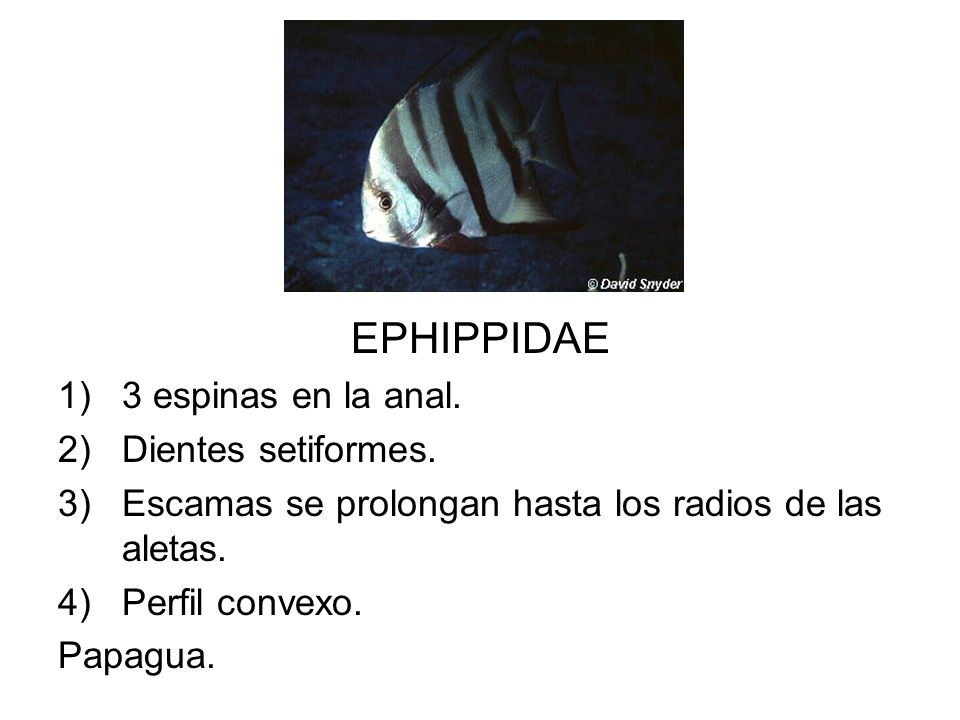 EPHIPPIDAE 1)3 espinas en la anal. 2)Dientes setiformes. 3)Escamas se prolongan hasta los radios de las aletas. 4)Perfil convexo. Papagua.