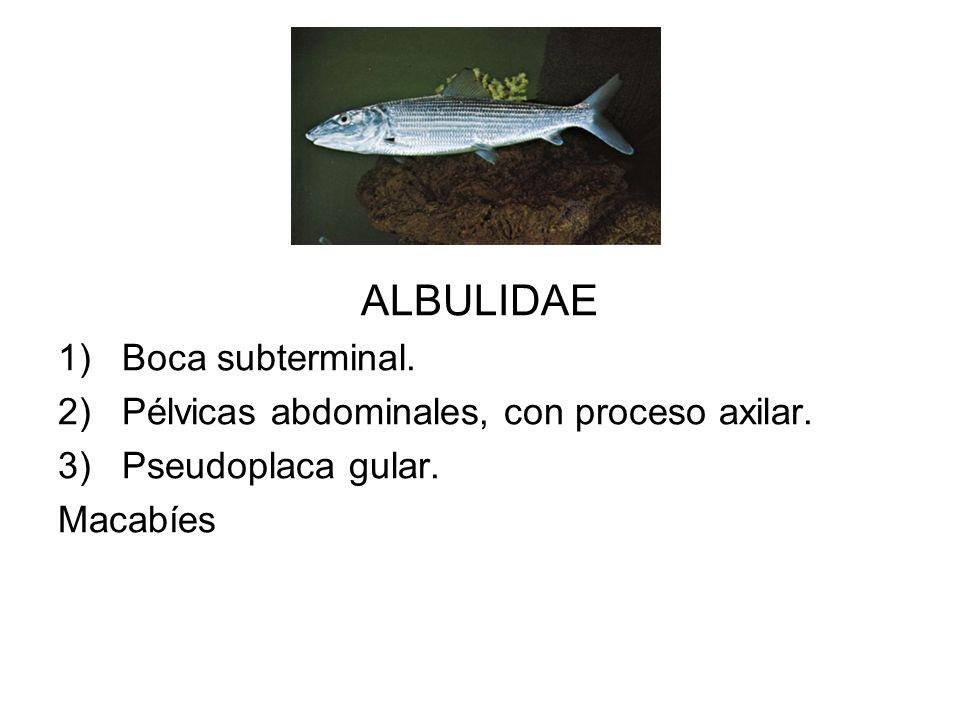 ALBULIDAE 1)Boca subterminal. 2)Pélvicas abdominales, con proceso axilar. 3)Pseudoplaca gular. Macabíes