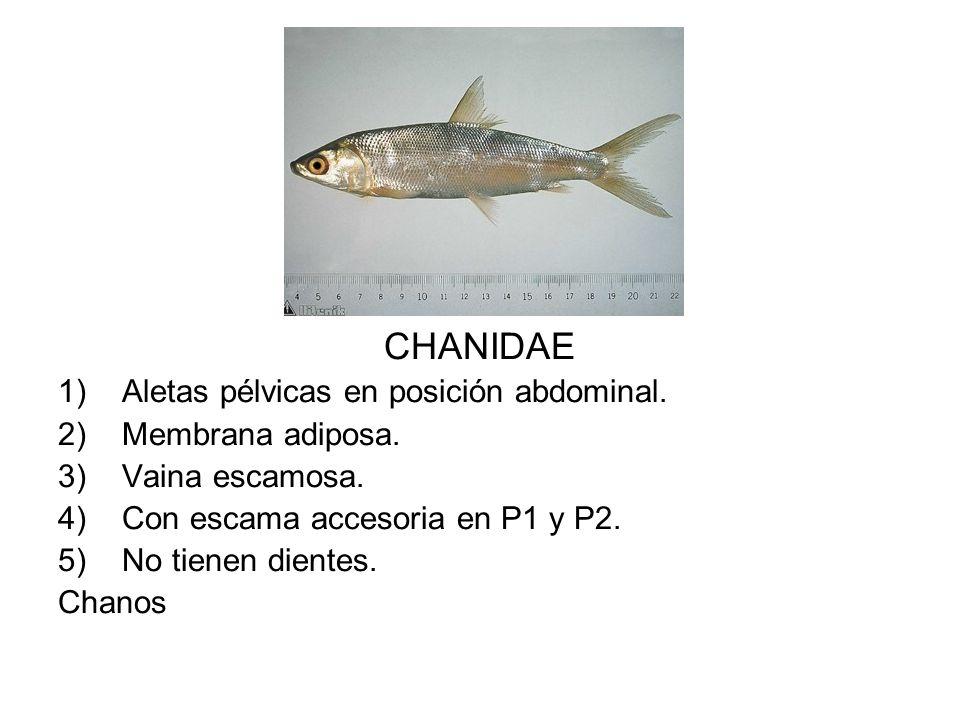 CHANIDAE 1)Aletas pélvicas en posición abdominal. 2)Membrana adiposa. 3)Vaina escamosa. 4)Con escama accesoria en P1 y P2. 5)No tienen dientes. Chanos