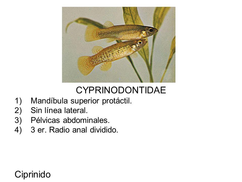 CYPRINODONTIDAE 1)Mandíbula superior protáctil. 2)Sin línea lateral. 3)Pélvicas abdominales. 4)3 er. Radio anal dividido. Ciprinido