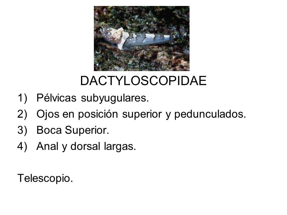 DACTYLOSCOPIDAE 1)Pélvicas subyugulares. 2)Ojos en posición superior y pedunculados. 3)Boca Superior. 4)Anal y dorsal largas. Telescopio.