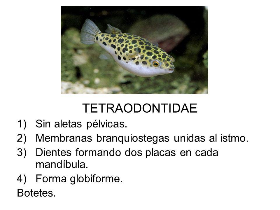 TETRAODONTIDAE 1)Sin aletas pélvicas. 2)Membranas branquiostegas unidas al istmo. 3)Dientes formando dos placas en cada mandíbula. 4)Forma globiforme.