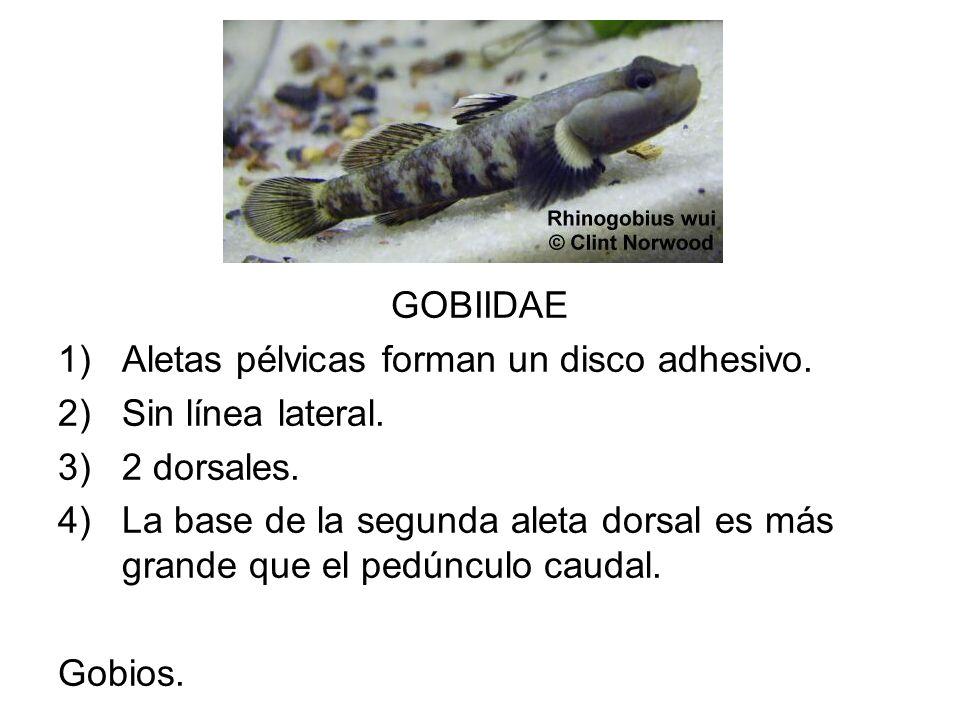 GOBIIDAE 1)Aletas pélvicas forman un disco adhesivo. 2)Sin línea lateral. 3)2 dorsales. 4)La base de la segunda aleta dorsal es más grande que el pedú