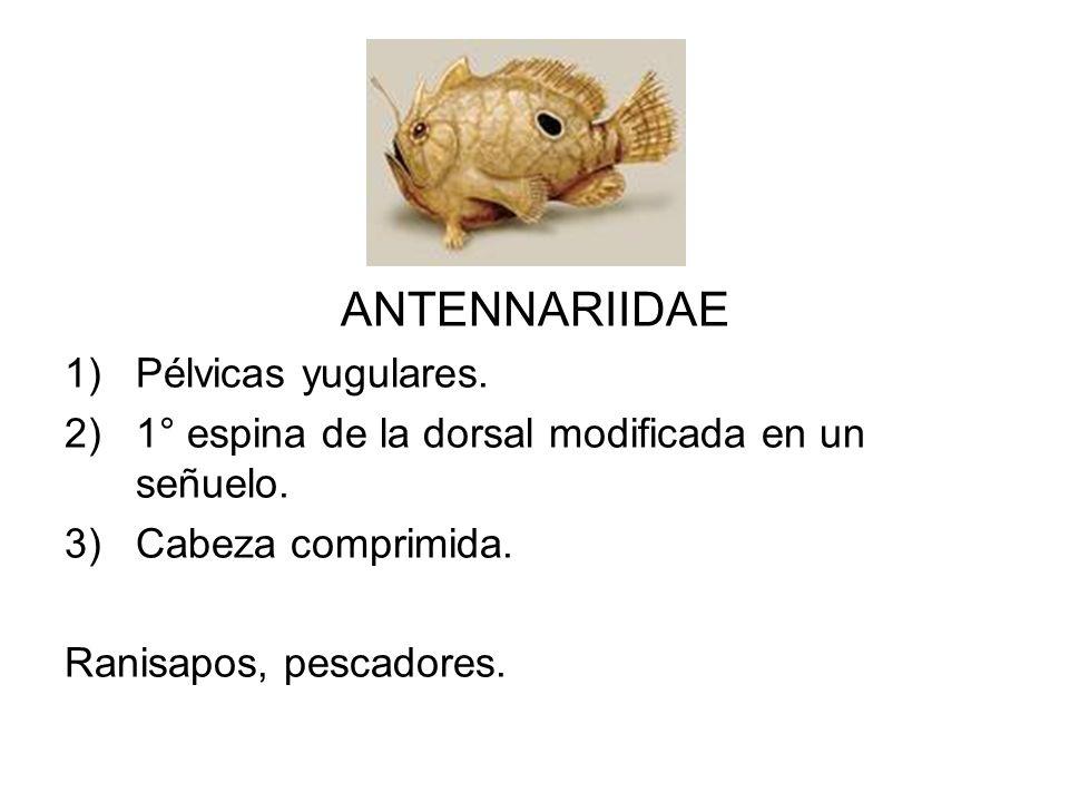 ANTENNARIIDAE 1)Pélvicas yugulares. 2)1° espina de la dorsal modificada en un señuelo. 3)Cabeza comprimida. Ranisapos, pescadores.