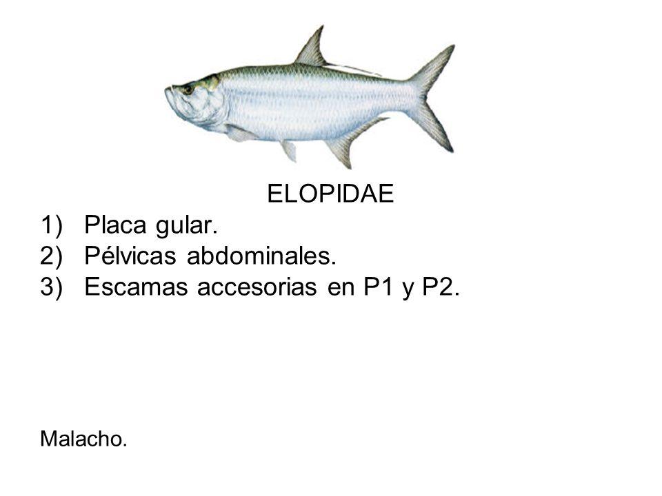 ELOPIDAE 1)Placa gular. 2)Pélvicas abdominales. 3)Escamas accesorias en P1 y P2. Malacho.