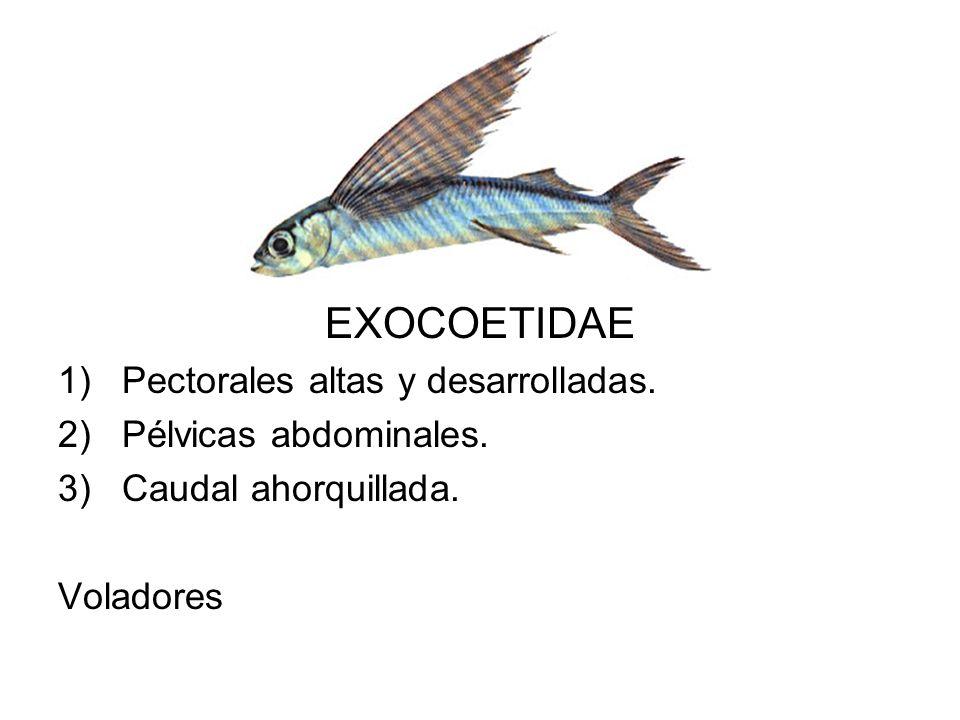 EXOCOETIDAE 1)Pectorales altas y desarrolladas. 2)Pélvicas abdominales. 3)Caudal ahorquillada. Voladores