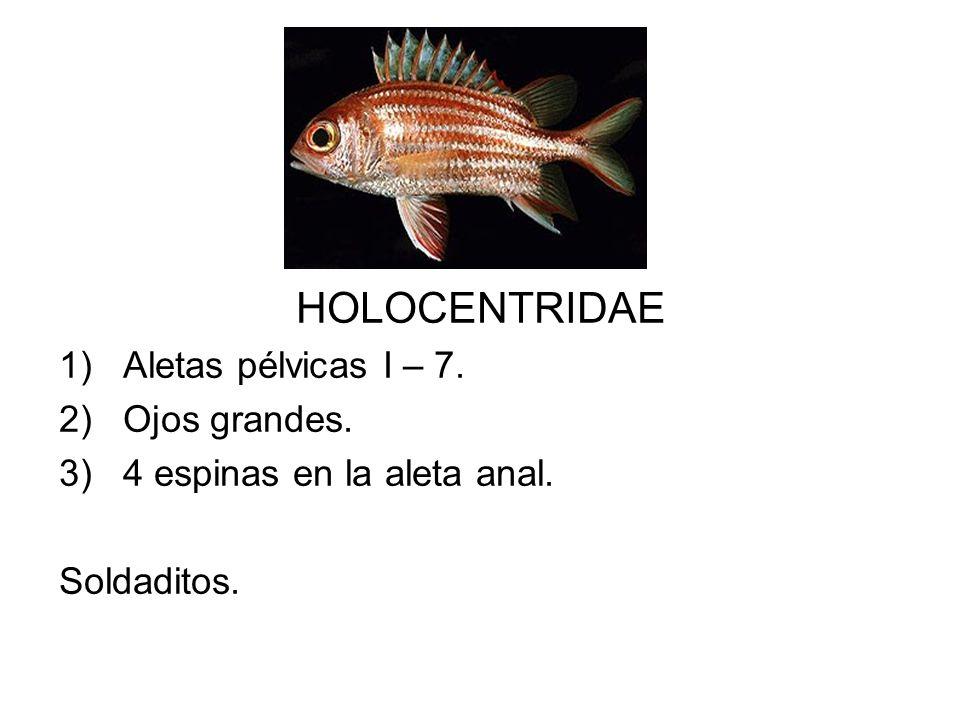 HOLOCENTRIDAE 1)Aletas pélvicas I – 7. 2)Ojos grandes. 3)4 espinas en la aleta anal. Soldaditos.