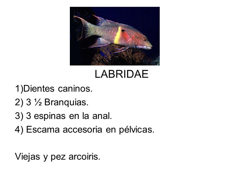LABRIDAE 1)Dientes caninos. 2) 3 ½ Branquias. 3) 3 espinas en la anal. 4) Escama accesoria en pélvicas. Viejas y pez arcoiris.