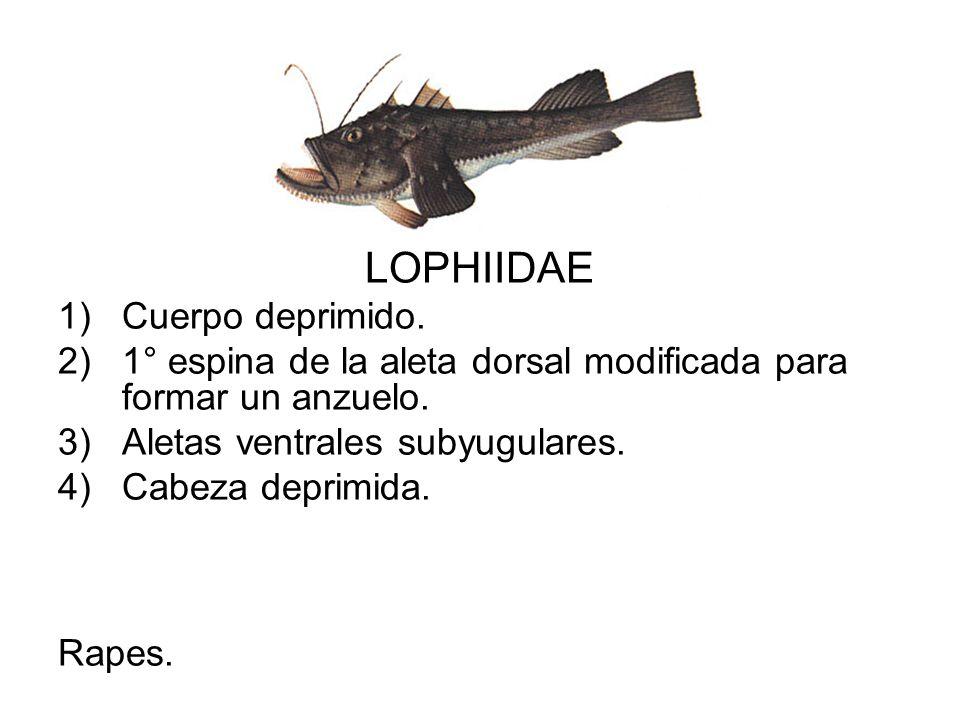 LOPHIIDAE 1)Cuerpo deprimido. 2)1° espina de la aleta dorsal modificada para formar un anzuelo. 3)Aletas ventrales subyugulares. 4)Cabeza deprimida. R