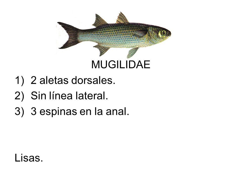 MUGILIDAE 1)2 aletas dorsales. 2)Sin línea lateral. 3)3 espinas en la anal. Lisas.
