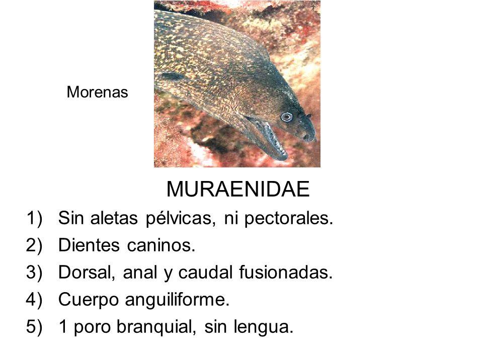 MURAENIDAE 1)Sin aletas pélvicas, ni pectorales. 2)Dientes caninos. 3)Dorsal, anal y caudal fusionadas. 4)Cuerpo anguiliforme. 5)1 poro branquial, sin