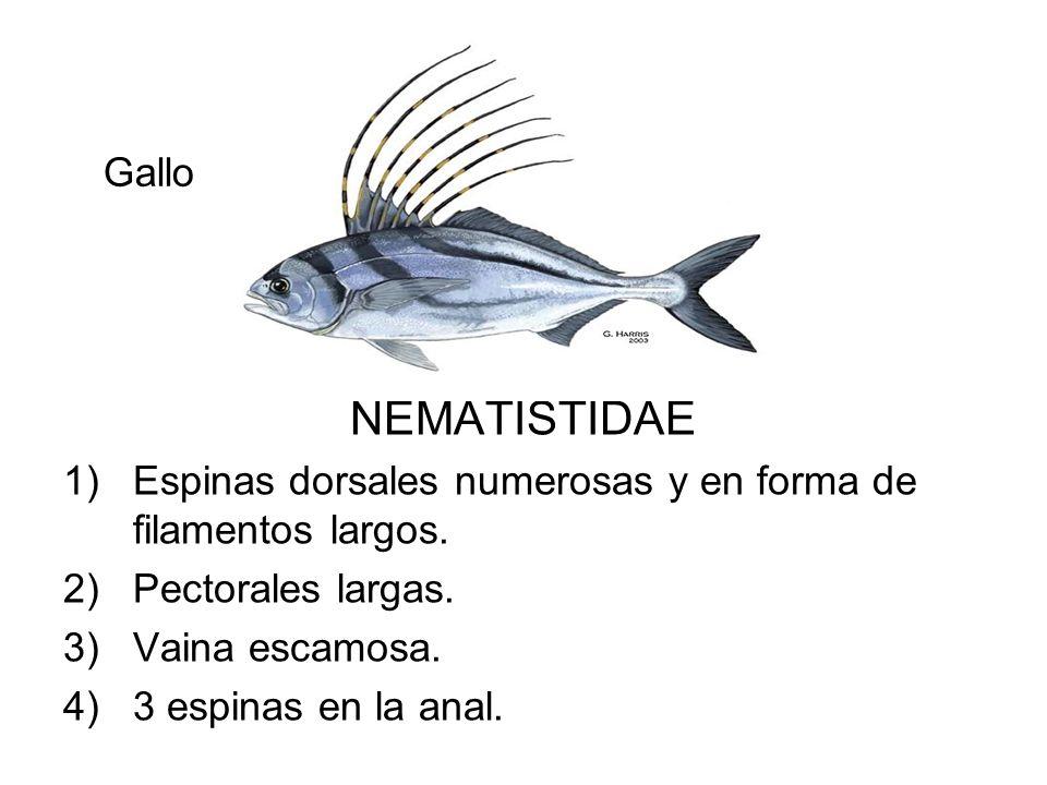NEMATISTIDAE 1)Espinas dorsales numerosas y en forma de filamentos largos. 2)Pectorales largas. 3)Vaina escamosa. 4)3 espinas en la anal. Gallo