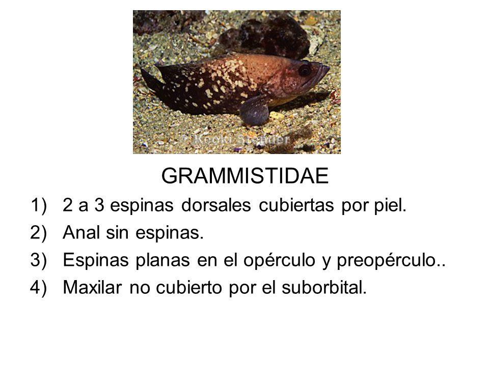 GRAMMISTIDAE 1)2 a 3 espinas dorsales cubiertas por piel. 2)Anal sin espinas. 3)Espinas planas en el opérculo y preopérculo.. 4)Maxilar no cubierto po