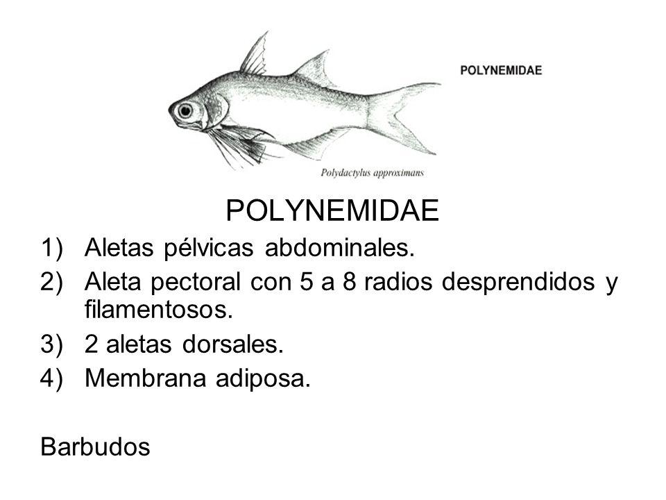 POLYNEMIDAE 1)Aletas pélvicas abdominales. 2)Aleta pectoral con 5 a 8 radios desprendidos y filamentosos. 3)2 aletas dorsales. 4)Membrana adiposa. Bar