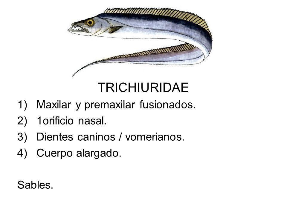 TRICHIURIDAE 1)Maxilar y premaxilar fusionados. 2)1orificio nasal. 3)Dientes caninos / vomerianos. 4)Cuerpo alargado. Sables.