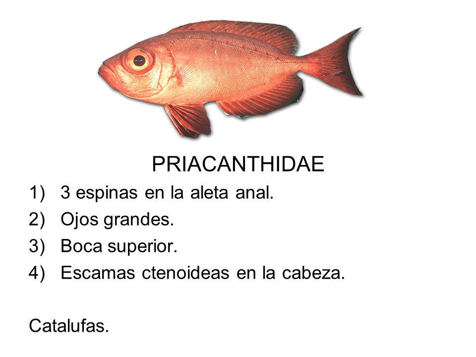 PRIACANTHIDAE 1)3 espinas en la aleta anal. 2)Ojos grandes. 3)Boca superior. 4)Escamas ctenoideas en la cabeza. Catalufas.