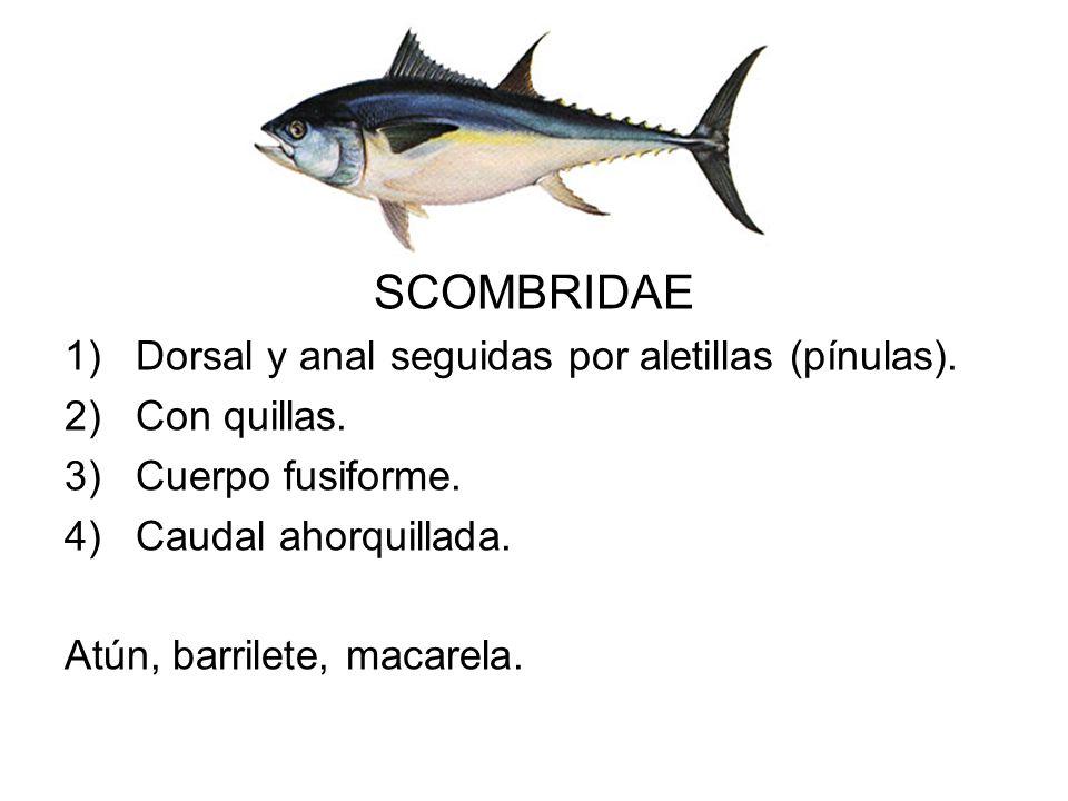 SCOMBRIDAE 1)Dorsal y anal seguidas por aletillas (pínulas). 2)Con quillas. 3)Cuerpo fusiforme. 4)Caudal ahorquillada. Atún, barrilete, macarela.