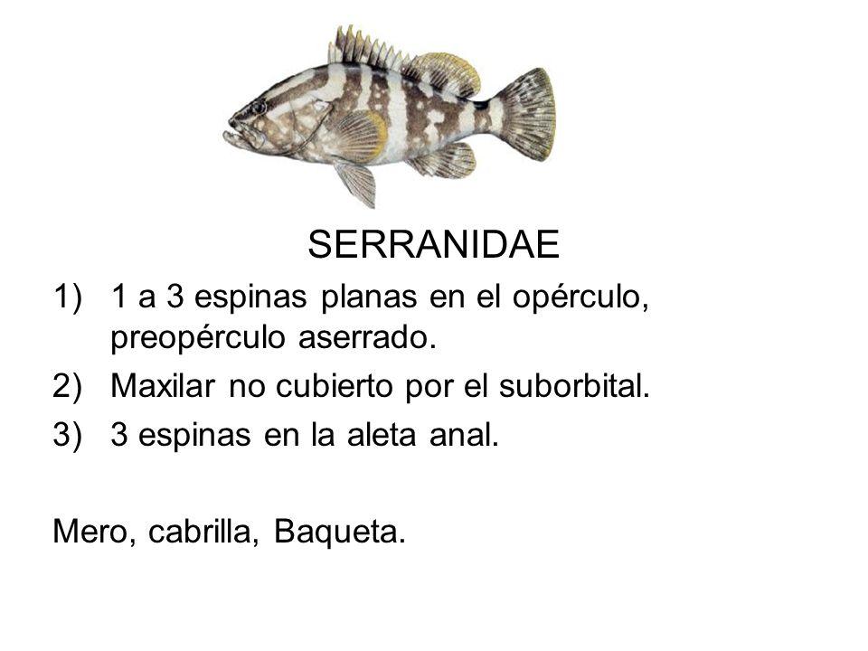 SERRANIDAE 1)1 a 3 espinas planas en el opérculo, preopérculo aserrado. 2)Maxilar no cubierto por el suborbital. 3)3 espinas en la aleta anal. Mero, c